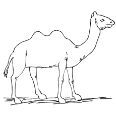 two-humped-camel-standing-alone