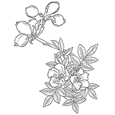 Wild Roses to Color Printables