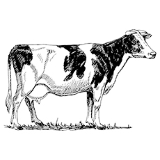 The-Jersey-Cow