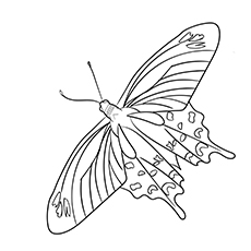 Crimson-Rose-Swallowtail-Butterfly-17