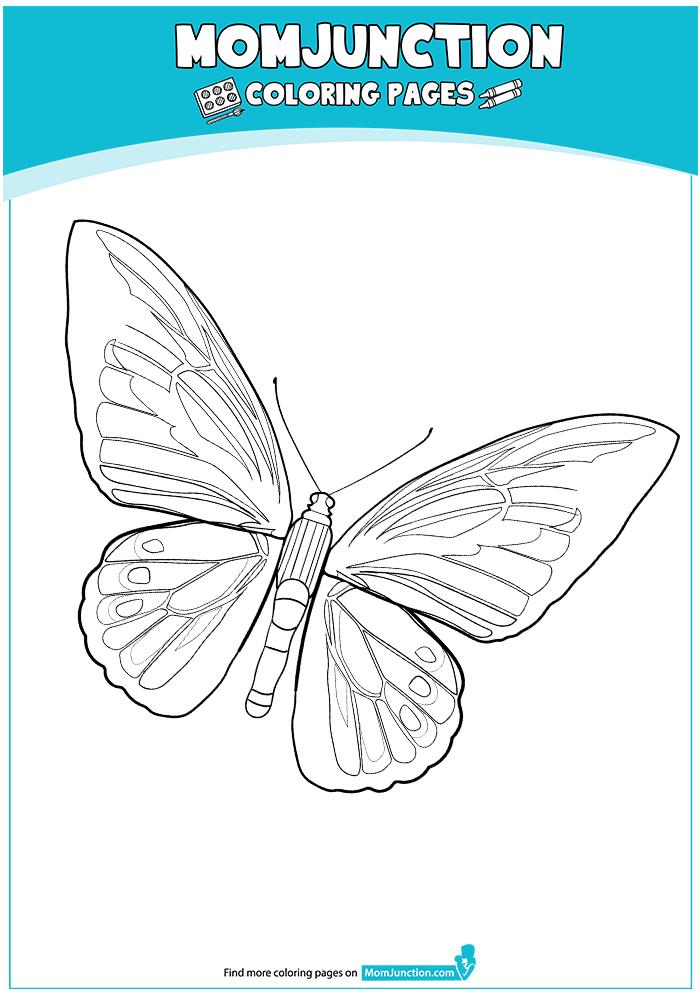 GOLIATH-BIRDWING-BUTTERFLY-17
