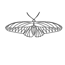 Rajah-Brooke's-Birdwing-17