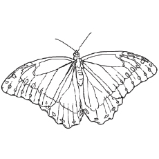 The-West-Coast-Lady-Butterfly