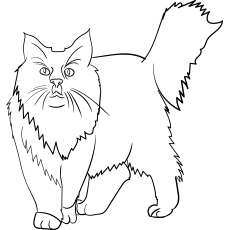 Maine-Coon-Cat