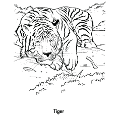 Free Printable Bengal Tiger Coloring Pages