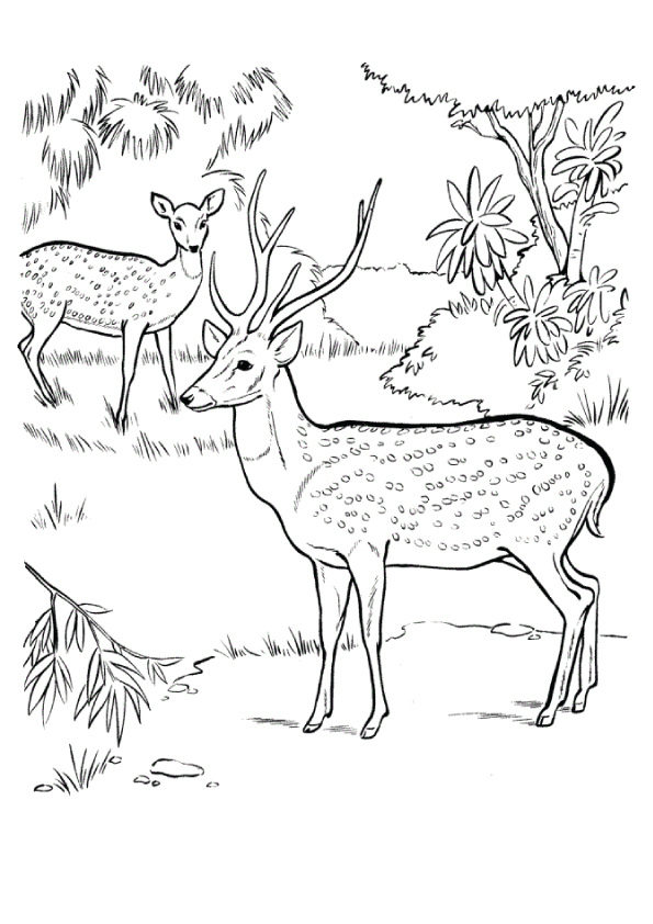 Chital-Deer