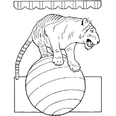 Tiger in Circus doing stunts to Color