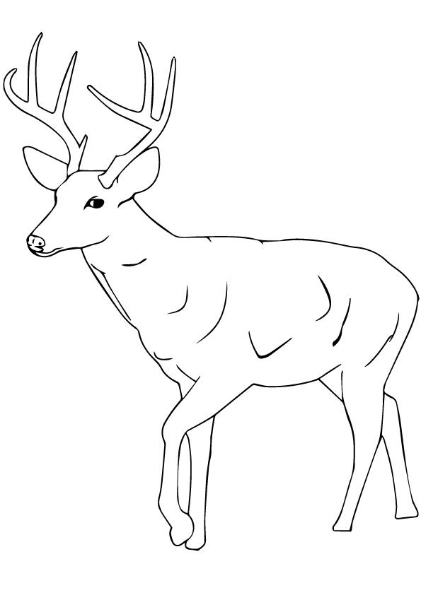 Sambar-Deer