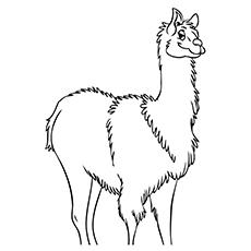 Wooly Llama
