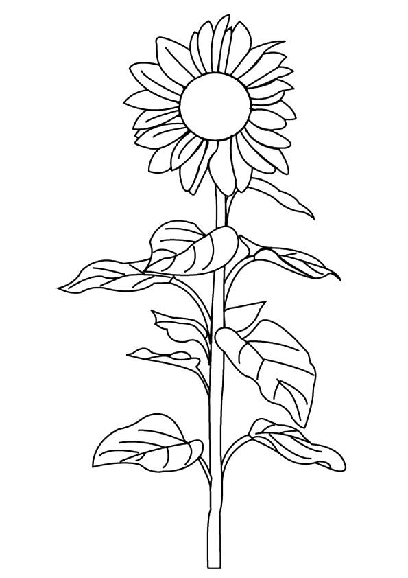 Pacino-Cola-Sunflower