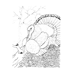 Free Printable Coloring Pages of Wild Turkey