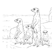 Meerkat-With-A-Group