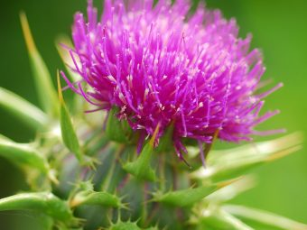 How Milk Thistle Can Help You During Breastfeeding