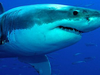 35 Lesser-Known Facts About Great White Sharks For Kids