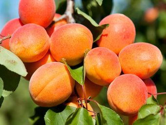 7 Health Benefits Of Apricot (Khubani) For Babies And Recipes To Try