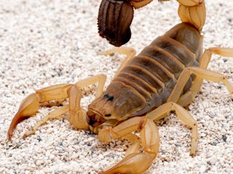 20 Fun And Interesting Scorpion Facts For Kids