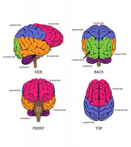 Brain Parts And Functions Explained For Kids