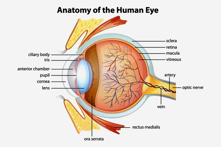 Parts Of Our Eyes