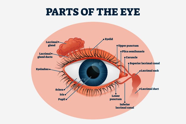 retina and the sclera
