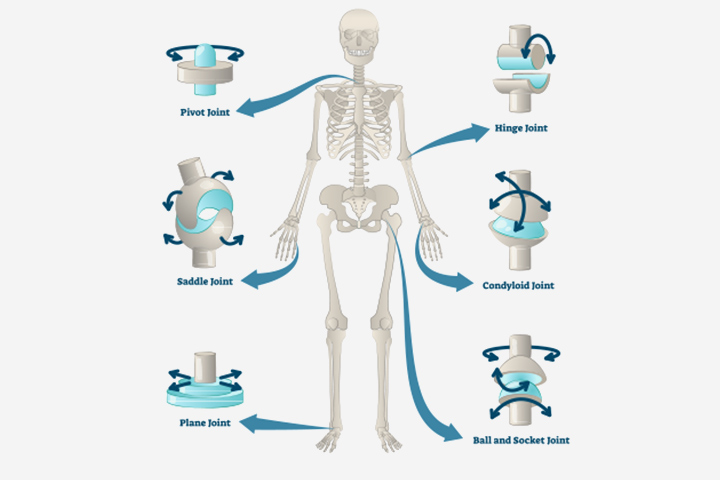 several types of movable joints